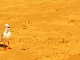 Beach Seagull Agnes Water 1770 Southern Great Barrier Reef Holiday Accommodation