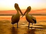 Pelicans Eurimbulah National Park Agnes Water 1770 Southern Great Barrier Reef Holiday Accommodation
