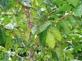 Coffee Plant | Les Cottages de Bellevue | Vanuatu