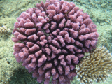 Purple Coral | Les Cottages de Bellevue | Vanuatu