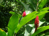 Wild Ginger Shrub | Les Cottages de Bellevue | Vanuatu