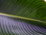 Banana Leaf | Les Cottages de Bellevue | Vanuatu