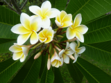White Frangipani | Les Cottages de Bellevue | Vanuatu