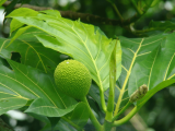 Breadfruit Tree | Les Cottages de Bellevue | Vanuatu