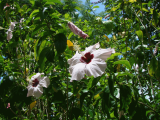 White Hibiscus | Les Cottages de Bellevue | Vanuatu