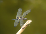 Dragonfly | Les Cottages de Bellevue | Vanuatu