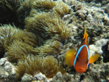Clown Fish | Les Cottages de Bellevue | Vanuatu