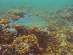 Fish spotted snorkeling at Matareva Beach Fales.